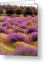 Lavender Fields 2 Greeting Card