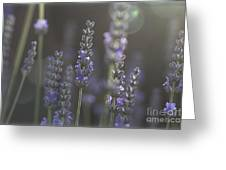 Lavender Flare. Greeting Card