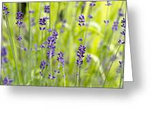 Lavender Flowers Background Greeting Card