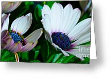 Lavender Frost African Daisy Greeting Card