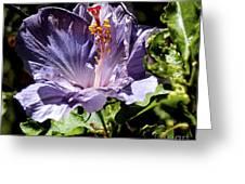 Lavender Hibiscus Greeting Card
