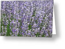 Lavender Hues Greeting Card