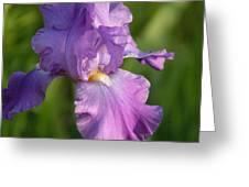 Lavender Iris Blooming  Greeting Card