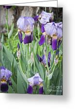Lavender Iris Group Greeting Card