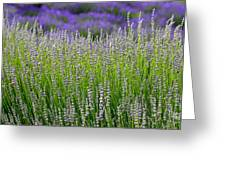 Lavender Layers Greeting Card