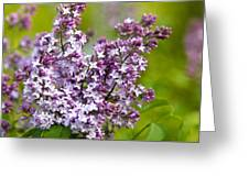 Lavender Lilacs Greeting Card