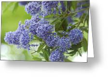 Lavender Pompoms Greeting Card