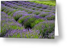 Lavender Rows Greeting Card
