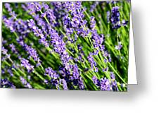 Lavender Square Greeting Card