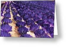 Lavender Study - Marignac-en-diois Greeting Card