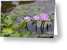 Lavender Waterlilies Greeting Card