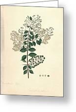 Lawsonia Inermis, Historical Artwork Greeting Card