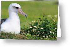 Laysan Albatross Nesting Hawaii Greeting Card