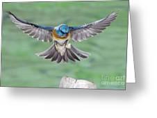 Lazuli Bunting In Flight Greeting Card