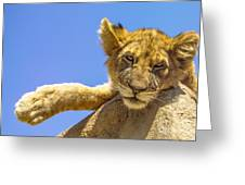 Lazy Lion Greeting Card by Diane Diederich