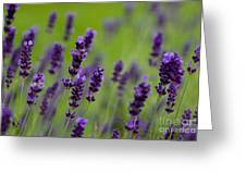 Lea Of Lavender Greeting Card