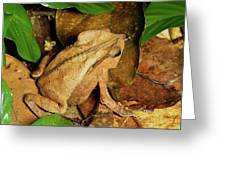Leaf Litter Toad Bufo Typhonius Greeting Card