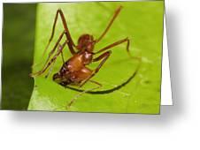 Leafcutter Ant Cutting Leaf Costa Rica Greeting Card