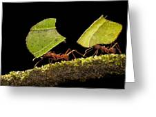 Leafcutter Ants Carrying Leaves Costa Greeting Card