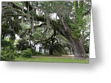 Leaning Live Oak Greeting Card