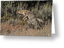 Leaping Coyote Greeting Card