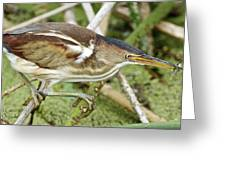 Least Bittern Female Feeding Greeting Card