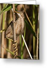 Least Bittern Pictures 14 Greeting Card