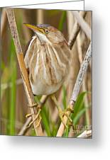 Least Bittern Pictures 35 Greeting Card
