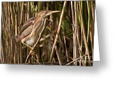 Least Bittern Pictures 7 Greeting Card