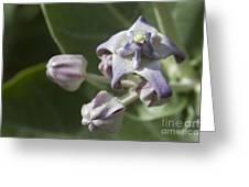 Lei Pua Kalaunu - Crown Flower - Calotropis Gigantea - Asclepiadaceae Greeting Card