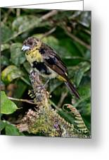 Lemon-rumped Tanager Molting Greeting Card