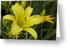 Lemon Yellow Daylily Blossom Greeting Card