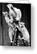Lemurs Perched On Tripod Greeting Card