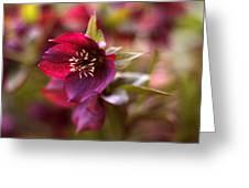 Lenten Rose Greeting Card