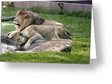 Leo And Una - Twin Male And Female Lions At The University Of North Alabama Greeting Card