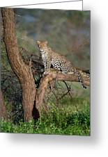 Leopard Panthera Pardus Sitting Greeting Card