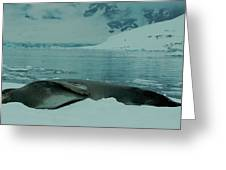 Leopard Seal Hauled Out Greeting Card