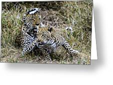 Leopard Tease Greeting Card
