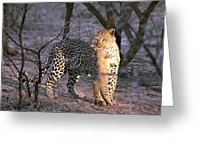 Leopard With African Wild Cat Kill Greeting Card