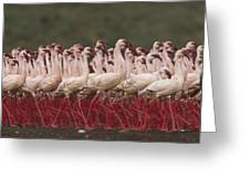 Lesser Flamingo Mass Courtship Greeting Card