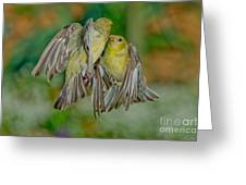 Lesser Goldfinch Females Fighting Greeting Card