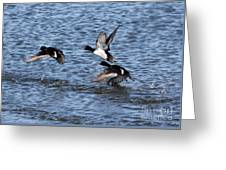 Lesser Scaup Ducks Greeting Card