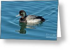 Lesser Scaup Male Swimming Greeting Card