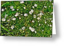 Lesser Stitchwort Near Lobster Cove In Gros Morne Np-nl Greeting Card