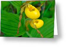 Lessor Yellow Ladys Slipper Orchid Of The Baileys Harbor Range Lights Greeting Card
