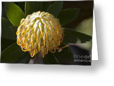 Leucospermum  -   Yellow Pincushion Protea Greeting Card
