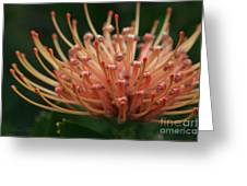 Leucospermum  Pincushion Protea Tropical Sunburst Protea Flower  Greeting Card