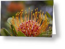 Leucospermum Pincushion Protea - Tropical Sunburst Greeting Card