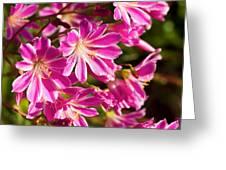 Lewisia Cotyledon Flowers Greeting Card