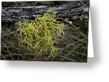 Lichen On Limb Greeting Card
